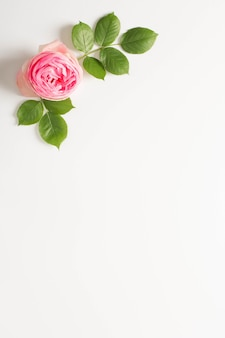 Pink peony flower and green leaves with white copy space background