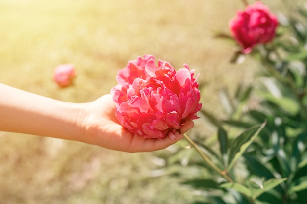 Pink peony flower head in full bloom in a children hand on a background of blurred green leaves