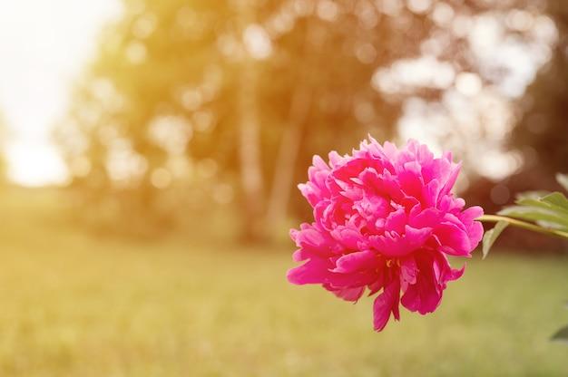 Голова цветка розового пиона в полном расцвете на фоне размытой зеленой травы и деревьев в цветочном саду в солнечный летний день. вспышка