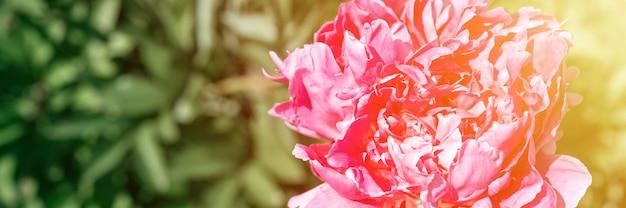 Голова цветка розового пиона в полном расцвете на фоне размытых зеленых листьев и травы в цветочном саду в солнечный летний день. баннер. вспышка