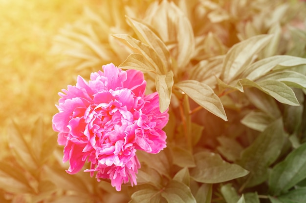 Голова цветка розового пиона в полном расцвете на фоне зеленых листьев и травы в цветочном саду в солнечный летний день. вспышка