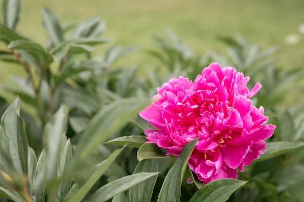 Голова цветка розового пиона в полном расцвете на фоне зеленых листьев и травы в цветочном саду в солнечный летний день