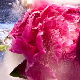 Pink peony  flower    in ice   cube with air bubbles.