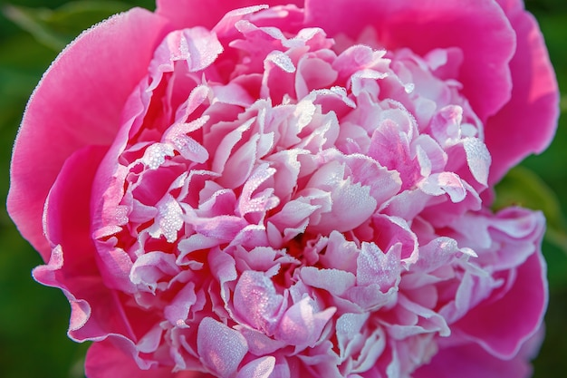 花びらに露が滴る早朝のピンクの牡丹の花がクローズアップ