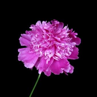 Pink peony flower isolated on black background