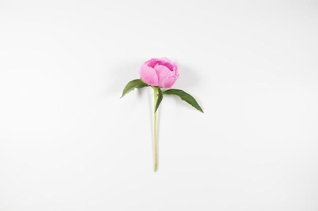 灰色の無地の背景にピンクの牡丹の花