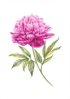 Pink peony flower. watercolor illustration.