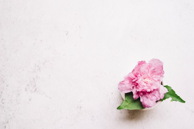 Pink peony flower on white textured backdrop