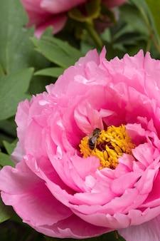 蜂とピンクの牡丹の花