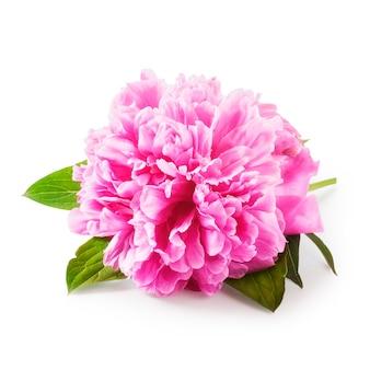 Розовый пион цветок с листьями один объект, изолированные на белом фоне, включая путь отсечения