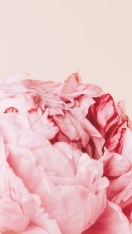Pink peony flower with water drops pastel style mockup