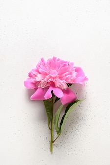 Pink peony flowers on a white background