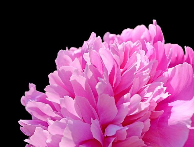 Pink peony isolated on black background