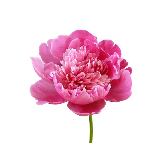 Розовый пион на белом фоне