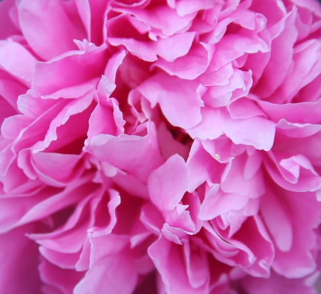 Розовый пион макросъемки