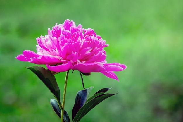 緑のぼやけた背景にピンクの牡丹