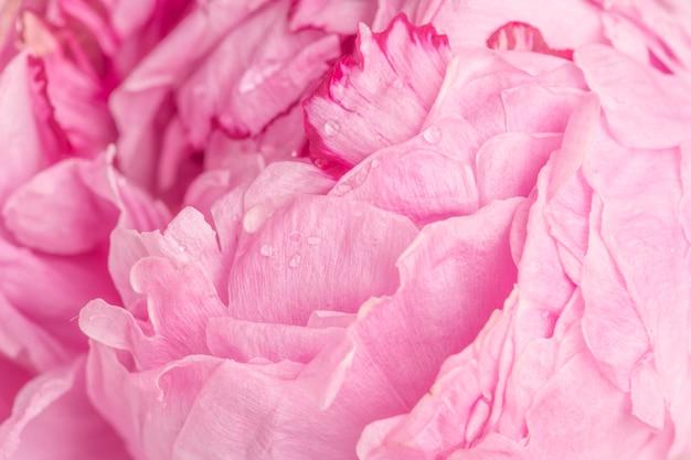 Розовый пион лепестки макросъемка фон