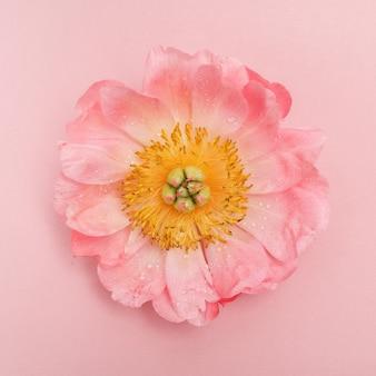 Розовый пион с каплями воды, вид сверху