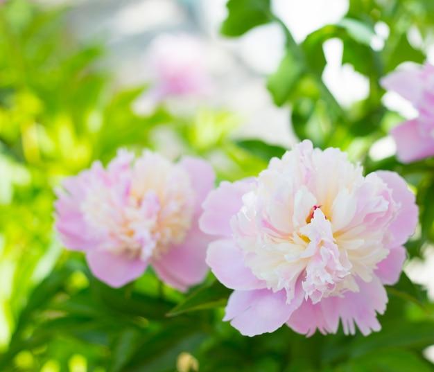 Peonia rosa