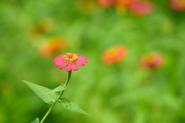 Pink petal flower with pollens stem  on blur background