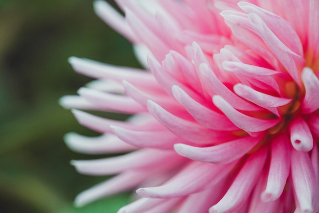 Розовый цветок с лепестками