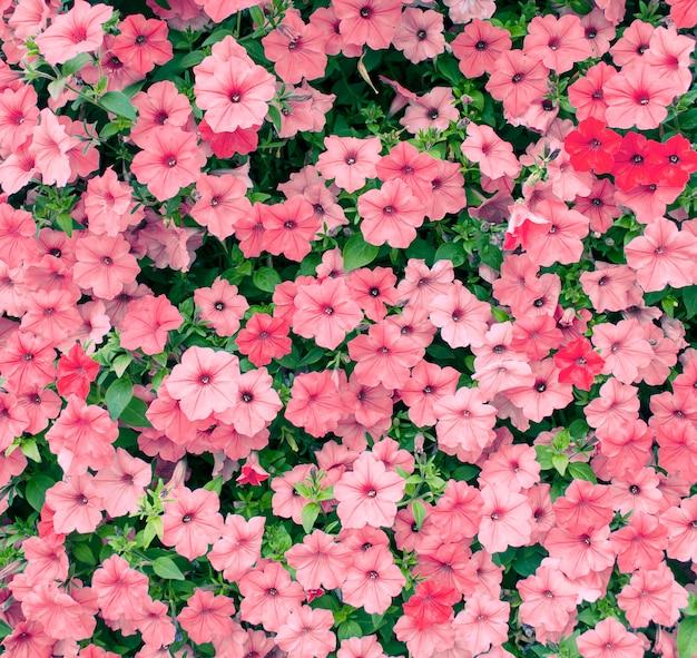 庭に咲くピンクのペチュニアの花