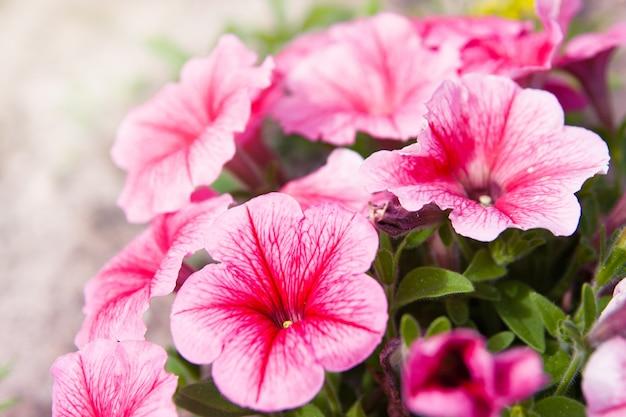 Pink petunias on blurred background