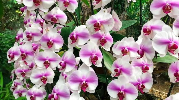 핑크 phalaenopsis 또는 나방 dendrobium 난초 꽃 겨울 또는 봄 날 열 대 정원 꽃 배경입니다.