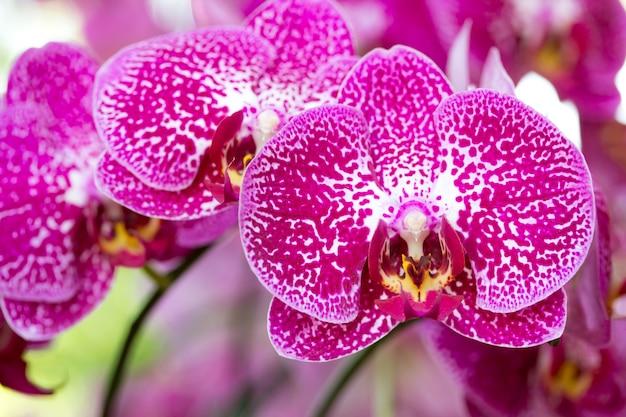 분홍색 호 접 난초 꽃