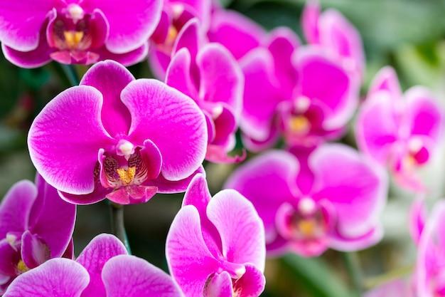 Розовый цветок орхидеи фаленопсиса