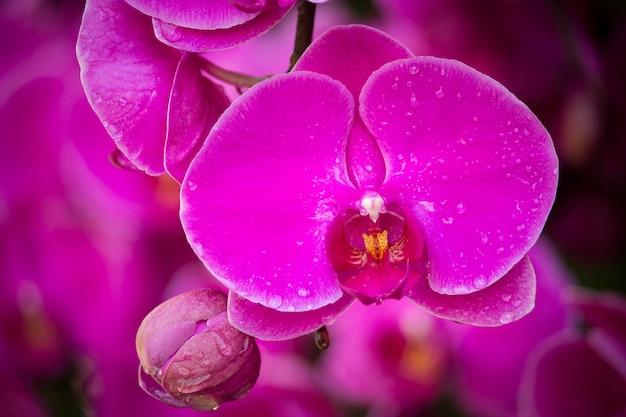 Розовый цветок орхидеи фаленопсис
