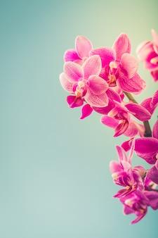 Pink phalaenopsis orchid flowers