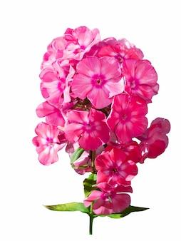 白い背景で隔離のピンクのフロックスの花。