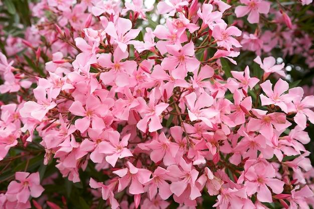 Розовые цветы флокса на зеленых ветвях