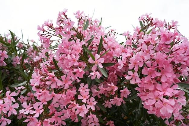 Розовые цветы флокса на зеленых кустах
