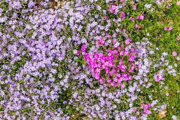 핑크 플록스 subulata. 꽃 phlox subulata의 배경입니다.
