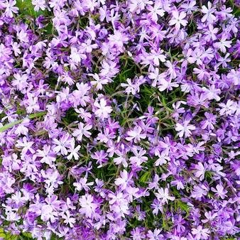 Pink phlox subulata flowers