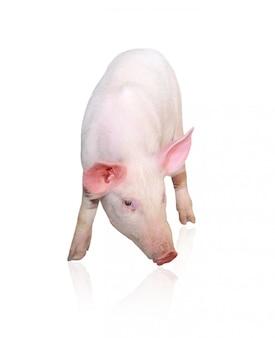 ピンクの豚の分離、正面図