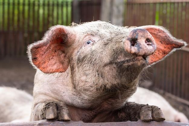 Pink pig in the mud