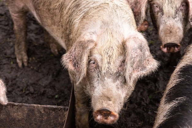 Pink pig in the mud