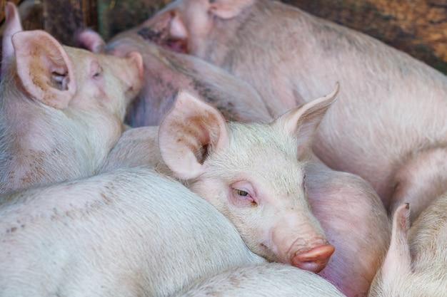 お互いにピンクの子豚、養豚場