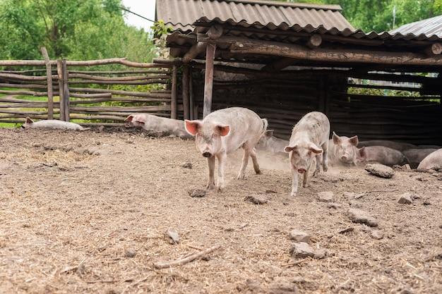 農場のピンクのブタ。農場で豚。食肉産業。肉の需要の高まりに対応するための養豚
