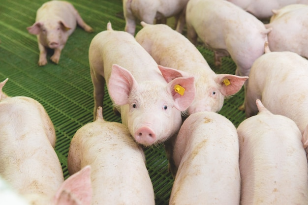 農場のピンクの豚農場の豚肉産業