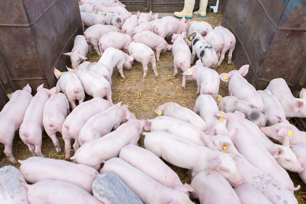 Розовые свиньи на ферме. свинья на ферме. мясная промышленность