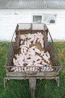 農場のピンクの豚農場の豚肉の需要の高まりに対応するための養豚