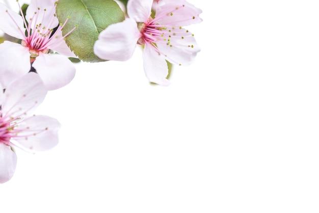 白い背景で隔離の緑の葉とピンクの梅の花