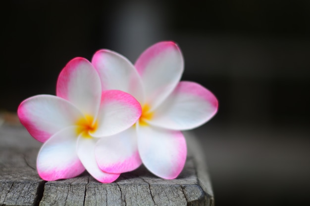 The pink plumeria flowers closeup with blurred background