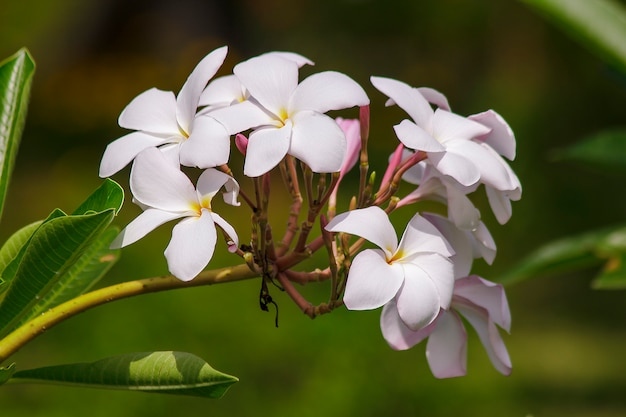 Pink plumeria flowers that are blooming in nature