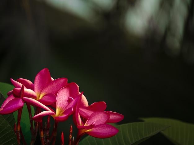 ピンクプルメリアの花