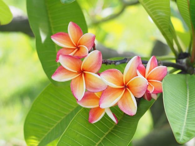 Pink plumeria or frangipani flowers